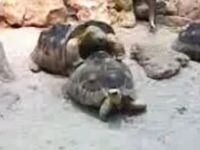 Turtle sex fail )) (0.9 Mb)
