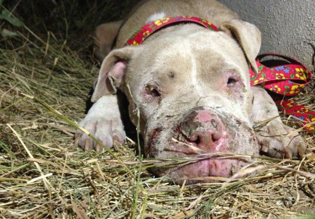 Sweet Story of a Rescued Pit Bull