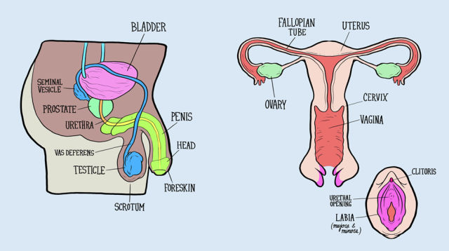 When Adults Try to Name the Reproductive Systems It All Goes Horribly Wrong