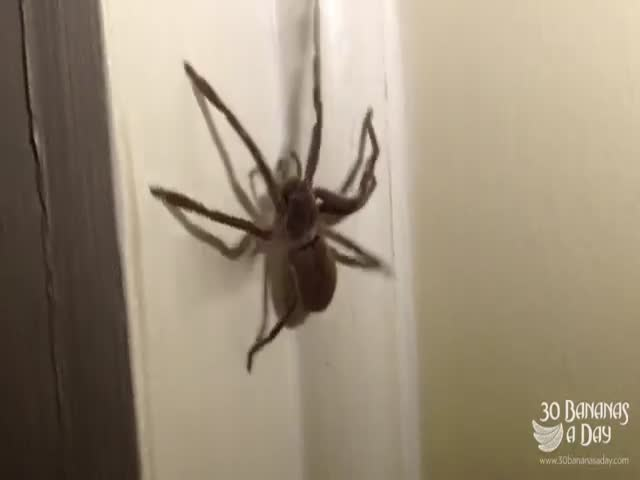 Australian Guy Shows How to Deal with Huge Spiders  (VIDEO)
